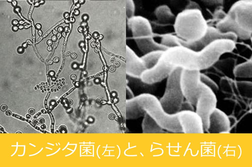 カンジタ菌